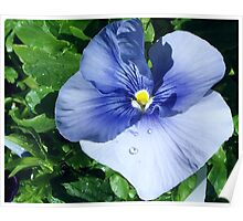 Pastel Blue Pansy Poster