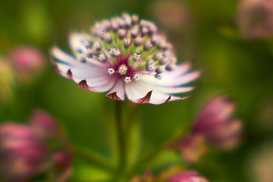 Magic Flower by Stas Medvedev