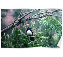 Willy Wagtail in Tree Poster