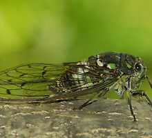 cicada singing ( for challenge) by davvi