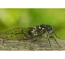 cicada singing ( for challenge) Photographic Print