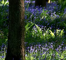 Bluebell Wood by samwisewoahzay