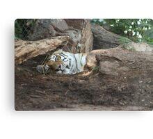 Sleeping Tiger, Hidden Claws Canvas Print