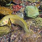 South Fork Westslope Cutthroat Trout by amontanaview