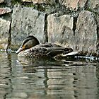 Lonely Duck~ by Virginian Photography (Judy)