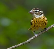 Juvenile Rose-breasted Grosbeak by Wayne Wood