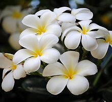 Elegant Frangipanis by Revive The Light Photography