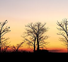 Boab Trees by Mark Ingram Photography
