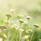 Everyone is beautiful - Miniature daisies  by Kell Rowe