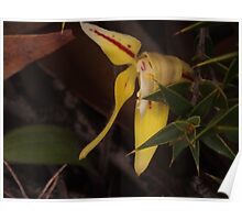 the struggling cowslip orchid Caladenia flava Poster