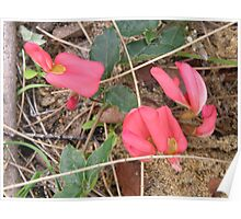 Red Pea flower Poster