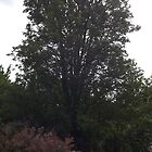 tall tree -(120811)- digital photo by paulramnora