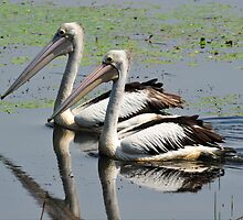 Australian Pelicans at Townsville Common by Alwyn Simple