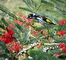 New Holland Honey Eater and Red bottle brush by Rocksygal52