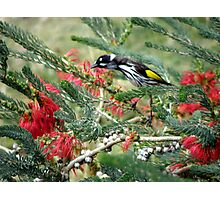 New Holland Honey Eater and Red bottle brush Photographic Print