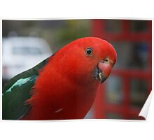 King parrot. Poster