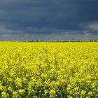 Rape field, Lincolnshire, England by Steve Kendall
