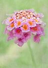 dewy lantana by Teresa Pople