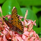 The Viceroy and Ixora by glennc70000