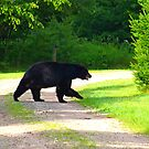 Black Bear on a stroll by Molly  Kinsey