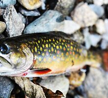 Brook trout. by aleininger