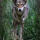 Red Wolf by Karen Peron