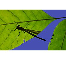Damselfly Shadow Photographic Print