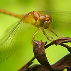 Basking Dragonfly by LeafLand