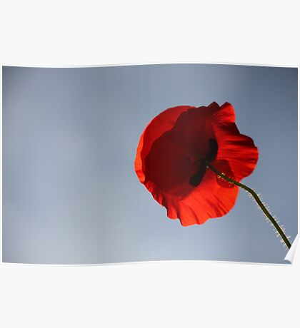 Poppy reaching up to the sky Poster
