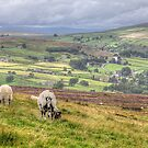 Sheep Above Arkengarthdale by Mat Robinson