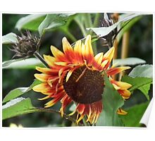 Two  Toned Sunflower Poster