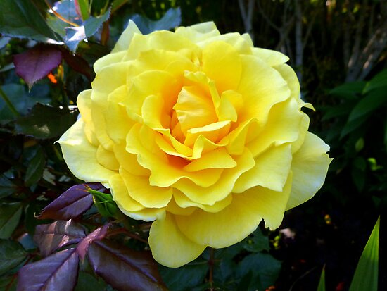 A Rose Made of Sunshine by Elaine Bawden