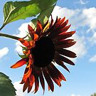 Red sunflower by orko
