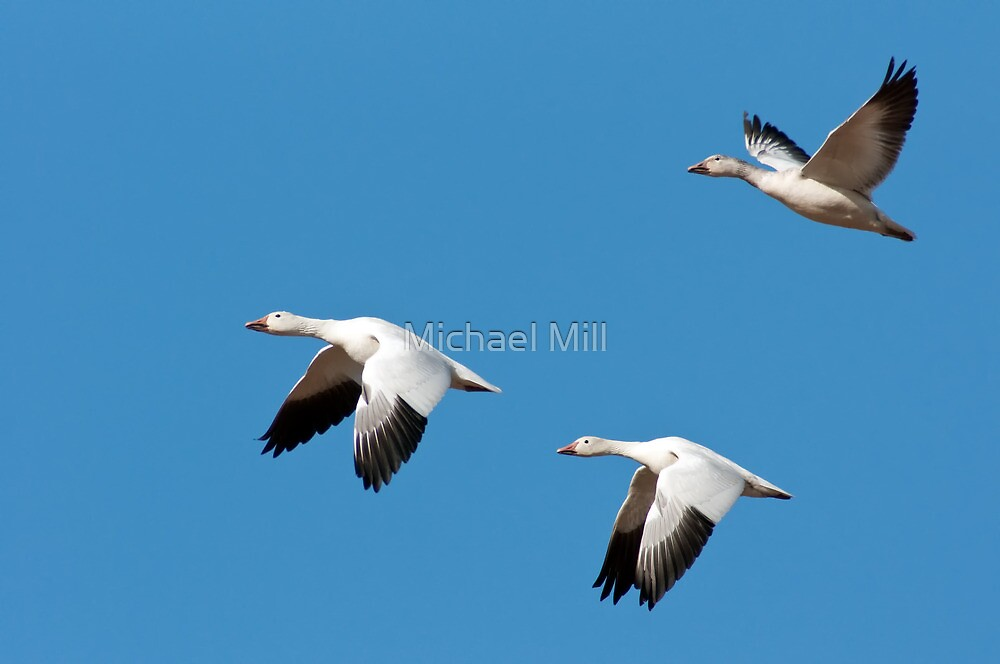 Three Snow Geese in Flight by Michael Mill