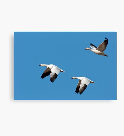 Three Snow Geese in Flight Canvas Print