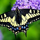 SWALLOWTAIL BEAUTY~ by RoseMarie747