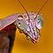 Praying for Mantises