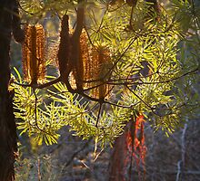 Hairpin Banksia by Geoff Smith