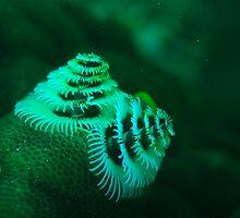 xmas tree worm coral bay western australia by peterbeaton