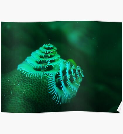 xmas tree worm coral bay western australia Poster