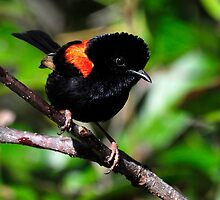 Red-backed Fairy Wren taken Mt Ossa - Mackay by Alwyn Simple