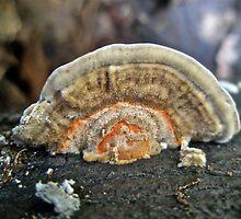 Fuzzy Turkey Tail Shelf Fungus - Trametes ochracea by MotherNature