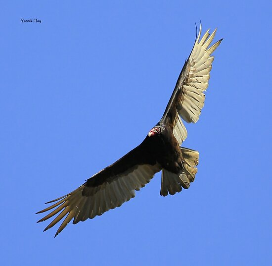 Turkey Vulture - Urubu à Tête Rouge by Yannik Hay
