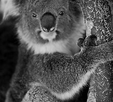 Koala Bear by HPG  Images