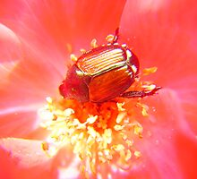 Rosy Japanese Beetle by LeafLand