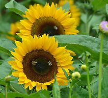 Peek-a-Boo Sunflowers... by Carol Clifford