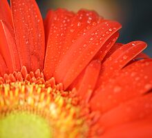 Water droplets adorn Orange Gerbera  by Melani