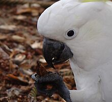 Wild Sulphur-Crested Cockatoo  by Samantha  Goode