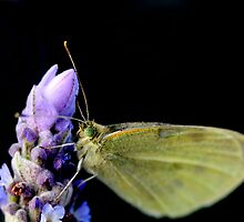 Lavender  with a Moth by TeAnne