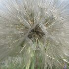 Tragopogon dubius by orko